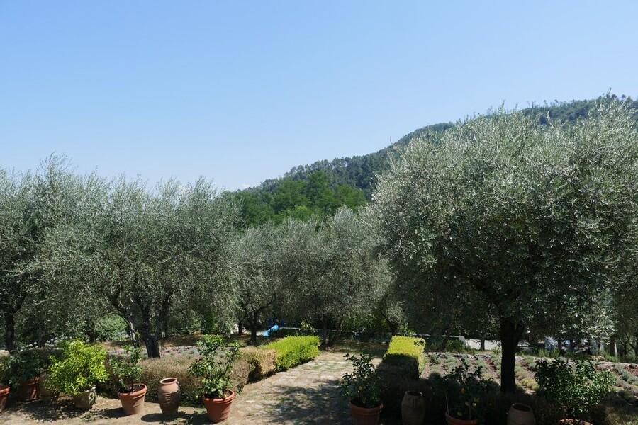 Olivenbäume umgeben das Ferienhaus Macennere in Lucca